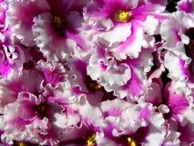Violetas africanas fotografía de archivo libre de regalías
