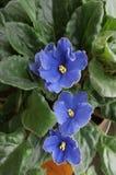 Violetas africanas Fotos de Stock Royalty Free