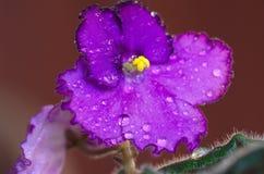 Violetas africanas da flor violeta Foto de Stock
