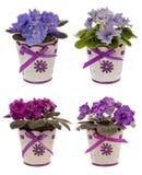 Violetas africanas em uns potenciômetros isolados Fotografia de Stock Royalty Free