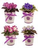 Violetas africanas em uns potenciômetros isolados Foto de Stock Royalty Free