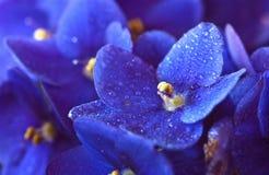 Violetas africanas en el rocío de la mañana Imagen de archivo