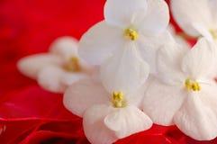 Violetas africanas en rojo Imagen de archivo libre de regalías