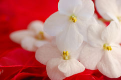 Violetas africanas no vermelho Imagem de Stock Royalty Free