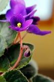 Violetas africanas (saintpaulia) Fotos de Stock Royalty Free