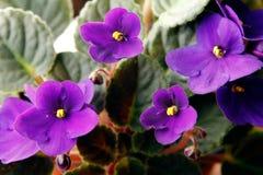 Violetas africanas (saintpaulia) Imagen de archivo libre de regalías