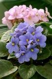 Violetas africanas (saintpaulia) Fotografía de archivo libre de regalías