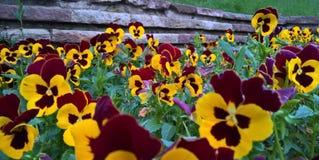 Violetas amarillas Foto de archivo libre de regalías