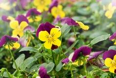 Violetas amarillas coloridas Imagen de archivo libre de regalías