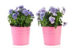 Violetas azuis Fotos de Stock Royalty Free