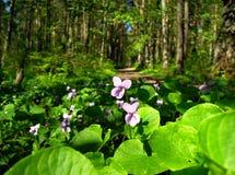Violetas azuis foto de stock royalty free