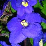 Violetas Stock Photo