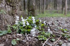 Violetas blancas debajo de un árbol en bosque de la primavera Imagen de archivo