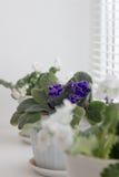 Violetas blancas en un pote flores en potes en windowsi Imágenes de archivo libres de regalías