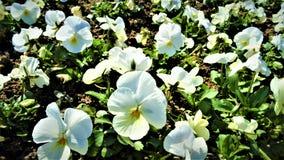 Violetas blancas magníficas en el jardín fotografía de archivo libre de regalías