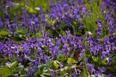 Violetas blandas brillantes en el cierre del bosque para arriba en primavera Imagenes de archivo