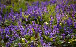 Violetas blandas brillantes en el cierre del bosque para arriba en primavera Imagen de archivo