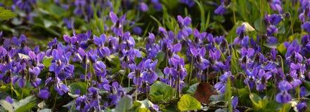 Violetas blandas brillantes en el cierre del bosque para arriba en primavera Foto de archivo