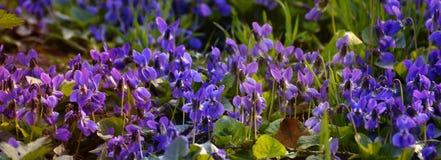 Violetas blandas brillantes en el cierre del bosque para arriba en primavera Foto de archivo libre de regalías