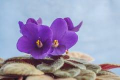 Violetas bonitas no vaso de flores com fundo azul Imagens de Stock Royalty Free