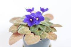 Violetas bonitas no vaso de flores com fundo branco Fotos de Stock Royalty Free