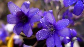 Violetas, cámara lenta almacen de video