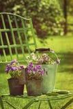 Violetas de la primavera en potes en silla de jardín Imagenes de archivo