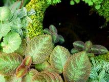Violetas del cupreata o de la llama del Episcia y albivenis de Fittonia imagen de archivo libre de regalías