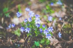 Violetas del olor de la primavera en la floración imagenes de archivo