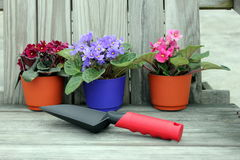 Violetas do Potting Imagem de Stock Royalty Free
