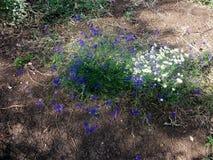 Violetas e camomila Fotografia de Stock