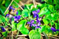 Violetas en el bosque Fotografía de archivo