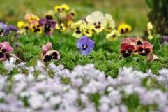 Violetas en estación de primavera fotografía de archivo