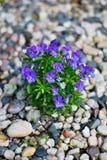 Violetas en guijarros fotos de archivo