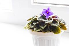Violetas en la ventana imagen de archivo