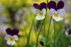 Violetas en un prado fotos de archivo