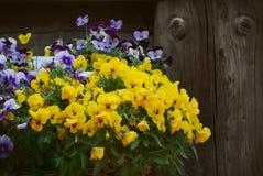 Violetas frescas imágenes de archivo libres de regalías