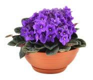 Violetas frescas en crisol Foto de archivo libre de regalías
