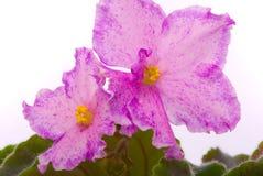 Violetas frescas isoladas Fotos de Stock Royalty Free