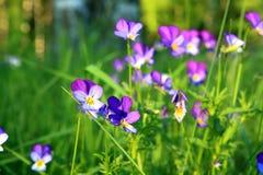 Violetas no campo Fotografia de Stock Royalty Free