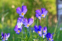 Violetas no campo Foto de Stock