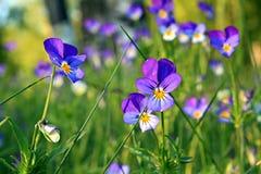 Violetas no campo Imagem de Stock