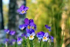 Violetas no campo Imagens de Stock Royalty Free