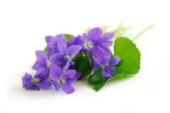 Violetas no fundo branco Imagens de Stock Royalty Free