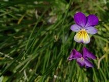 Violetas no fundo da grama verde foto de stock royalty free