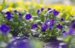Violetas púrpuras Imagen de archivo libre de regalías