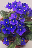 Violetas púrpuras aisladas en gris Fotos de archivo
