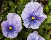 Violetas púrpuras con los centros amarillos brillantes Imágenes de archivo libres de regalías