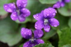 Violetas púrpuras mojadas Foto de archivo libre de regalías