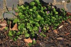 Violetas que florecen en una trayectoria Imágenes de archivo libres de regalías